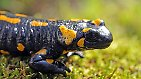 ... Amphibien wie zum Beispiel den Feuersalamander sowie ...
