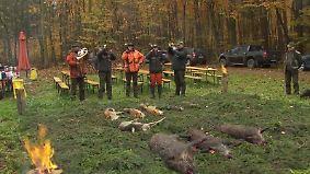 Schweinepest nimmt Kurs auf Deutschland: Bauernverband bläst zur Wildschweinjagd im großen Stil