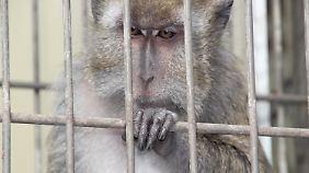 """""""Absurd und widerlich"""": Abgastests an Menschen und Affen sorgen für Empörung"""