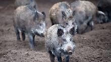 """""""Reale und ernste Bedrohung"""": Afrikanische Schweinepest breitet sich aus"""