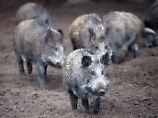"""""""Wir werden der Lage nicht Herr"""": Brandenburg kämpft gegen Wildschweine"""