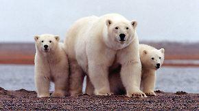 Der Hunger der Eisbären: Klimawandel setzt den Tieren schwer zu