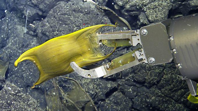 Hier wird eine Eikapsel der Galápagos-Rochen von einem kabelgeführten Unterwasserfahrzeug (Hercules ROV) in 1600 Meter Tiefe untersucht.