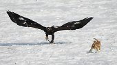 Viele Stunden trainieren Mensch und Adler miteinander, zunächst mit Tierattrappen, dann auch in der realen Jagdsituation.