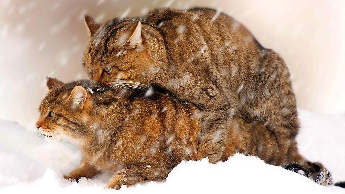 Europäische Wildkatzen paaren sich im Schnee.