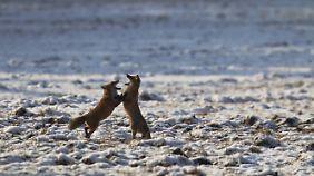 Ein Fuchspaar beim Liebesspiel im Schnee.