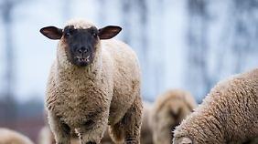 Falls Sie vergessen hatten, wie ein Schaf aussieht.
