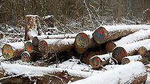 Prozess vor dem EuGH: Polen darf Bialowieza-Urwald nicht abholzen