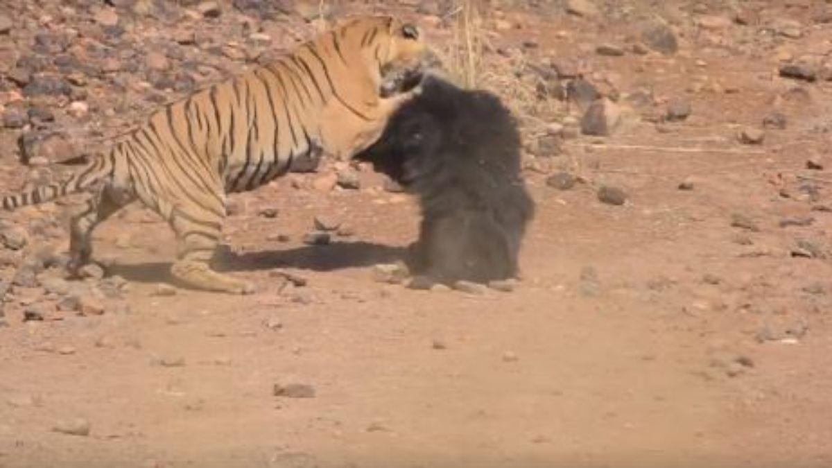 Kampf Der Giganten Bär Und Tiger Kreuzen Die Krallen N Tvde