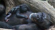 Rätselraten um den Papa: Leipziger Zoo freut sich über Schimpansen-Nachwuchs
