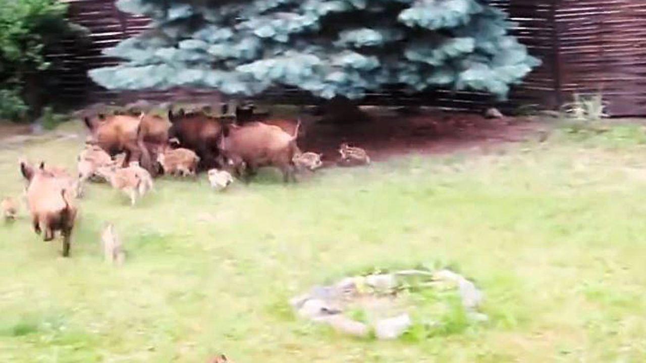 n-tv ratgeber: wildschweine machen hausbesitzern das leben schwer