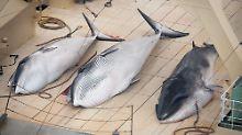 Vorschlag zu kommerzieller Jagd: Japan will wieder mehr Wale fangen