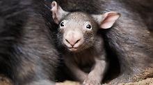 Der kleine Wombat Apari hat sich zum großen Star des Duisburger Tierparks entwickelt.