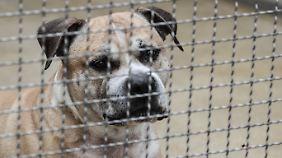"""Nach tödlichen Bissen: Hund """"Chico"""" soll in Spezialeinrichtung leben"""