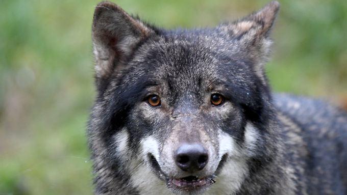 Seit 2016 töteten Wölfe bundesweit über 1000 Nutztiere.