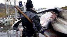 Kritik von Tierschützern: Isländische Walfänger dürfen wieder jagen