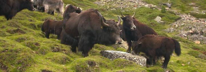 """""""In 80 Steaks um die Welt"""": Österreicher züchten Yaks für den Gourmetteller"""