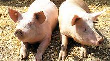 Raus aus der Sonne! Schließlich können Schweine einen Sonnenbrand bekommen. Und wie überhaupt schützen sie sich vor Überhitzung?