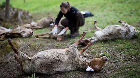 Neue Debatte um Raubtier entbrennt: Wolf tötet über 40 Schafe im Schwarzwald