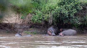 Im Naturschutzgebiet Masai Mara lleben etwa 4.000 Nilpferde.