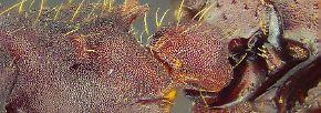 Venushaar und Quasimodo-Krebs: Das sind die zehn schrägsten neuen Arten