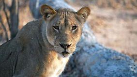 n-tv Dokumentation: Im Angesicht des Raubtiers - Unter Löwen
