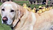 Kaum zu glauben, aber wahr: Labrador adoptiert neun Entenküken