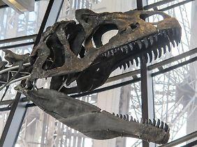 Der Schädel des Dinosauriers im Eiffelturm.