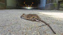 Eiskalte Ungezieferjagd: New Yorker Kammerjäger töten Ratten anders