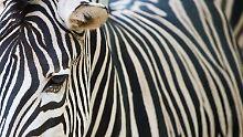 Fell-Rätsel noch nicht gelöst: Zebrastreifen kühlen gar nicht