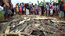 Nach dem Massaker in Sorong sammeln die Dorfbewohner die fast 300 Krokodil-Kadaver auf einem Haufen.