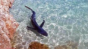 Tier im Todeskampf vor Urlaubs-Idyll: Hai versetzt Mallorca-Touristen in Aufregung