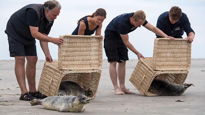 Dieses Jahr landeten in der  Seehundstation im ostfriesischen Norddeich insgesamt 160 kleine Heuler.