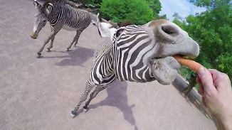 Mit der Kopfkamera  ganz nah dran: Kölner Zoo zeigt spektakuläre Tier-Aufnahmen