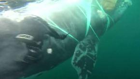 Gefährliche Rettung vor Chiles Küste: Marine-Taucher befreien 40-Meter-Wal aus Fischernetz