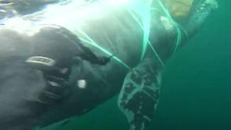 Gefährliche Rettung vor Chiles Küste: Marine-Taucher befreien Glattwal aus Fischernetz
