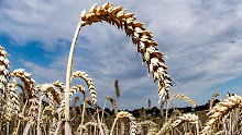 Hilfe im Kampf gegen Hunger: Erbgut des Weizens entschlüsselt