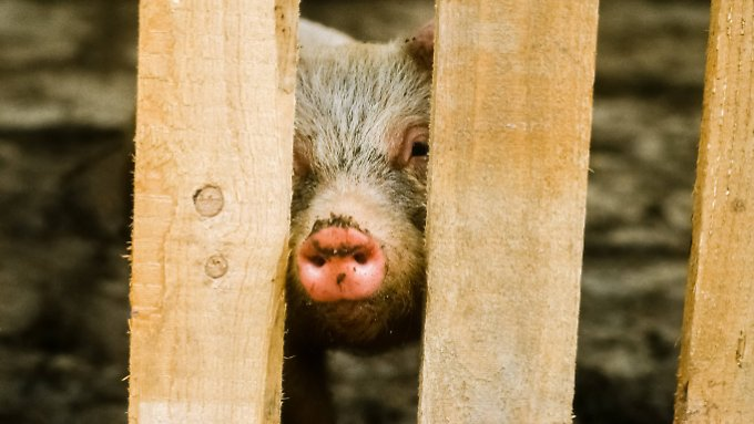 So far piglets are castrated in the bio-industry without sedation - because it is too expensive.