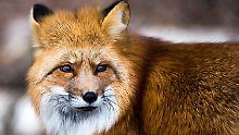 Gefährlicher Fuchsbandwurm: Ist das Beeren- und Pilzesammeln riskant?