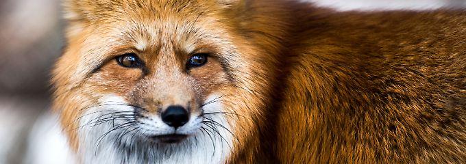 Gefährlicher Fuchsbandwurm: Ist Pilze- und Beerensammeln riskant?