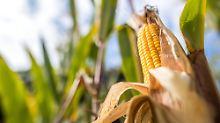 Sabotage im Maisfeld: Anschläge verursachen Millionenschaden