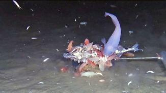 Bisher unbekannter Fisch gefilmt: Tiefseeaufnahmen zeigen spektakuläre Entdeckung
