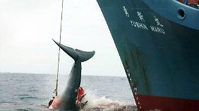 Japan jagt unter dem Schlupfloch des zugelassenen wissenschaftlichen Walfangs jährlich rund 600 Wale.