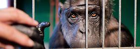 Menschenaffe in deutschem Zirkus: Gericht kündigt Entscheidung zu Robby an