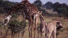 Je unregelmäßiger, desto besser: Fellmuster ist für Giraffen überlebenswichtig