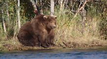 """Wettbewerb in Alaska: """"Beadnose"""" ist der fetteste Bär des Jahres"""