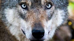 Verheerende Attacke: Wölfe reißen in Sachsen Dutzende Schafe und Ziegen