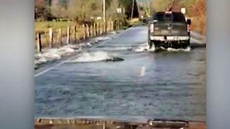 Kaum zu glauben, aber wahr: Zahlreiche Lachse zappeln über US-Straße