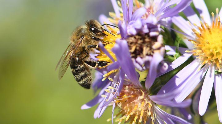 Insekten sind nützlich und wichtig: Sie bestäuben Obstbäume und Gemüsepflanzen, zersetzen Aas, Totholz und Kot.