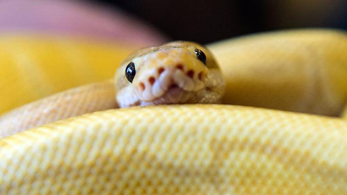 Die drei Meter lange Python kam aus der Kloschüssel.